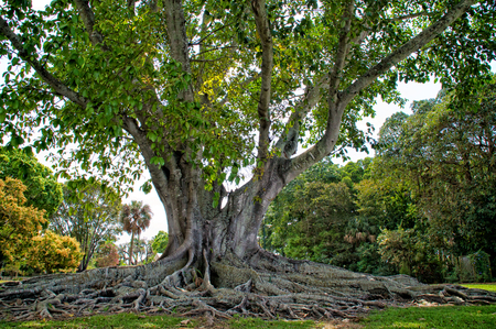 myers: A large healthy example of the Mysore Fig Tree also known as  Ficus Mysorensis  located in Ft Myers Florida Stock Photo