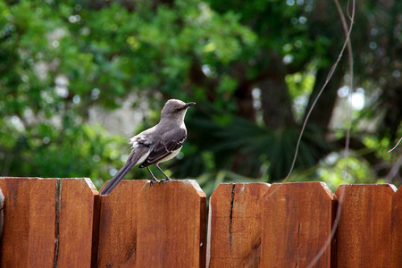 catbird: A grey and white catbird is perched on a reddish wooden fence in springtime.
