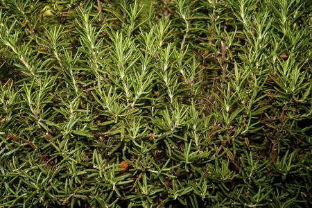 Close up of Rosemary plant with branches and leaves filling image. Stock fotó
