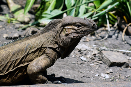 myers: Profile view of a large horned Iguana lizard in bright sunshine in Ft. Myers, Florida.