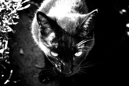 Looking down at a black cat looking menacingly up at viewer, finished in high contrast black and white.