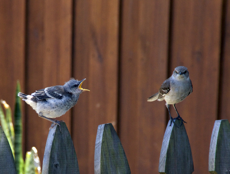 A baby Northern Mockingbird has its mouth wide open, squawking at parent bird while perched on picket fence.Adult bird looking at viewer.