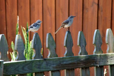 A Northern Mockingbird perched on a picket fence with its baby, both are looking to the right.