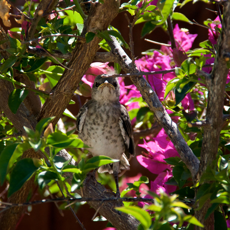 ruiseñor: A baby Northern Mockingbird chick is perched on a bougainvillea branch looking directly at viewer, early afternoon in Bonita Springs Florida