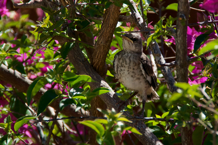ruiseñor: A baby Northern Mockingbird chick is perched on a bougainvillea branch looking to the left, early afternoon in Bonita Springs Florida Foto de archivo