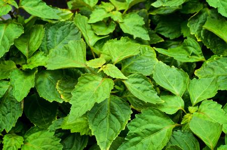 大規模なパチョリ上から様々 なサイズの葉と影のクローズ アップ。 漂わせ。 写真素材