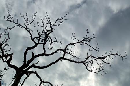 Looking up at the top of a dead Slash Pine Tree, showing gnarly, crooked, spooky looking branches against a cloud filled sky.