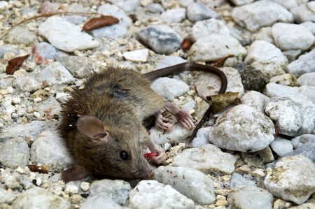 Eye level view of dead mouse appearing to be looking at viewer on ground being eaten by ants.