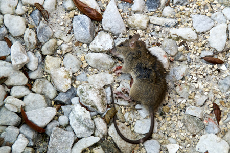 Looking down at A small dead brown mouse laying on the ground among rocks being eaten by ants.