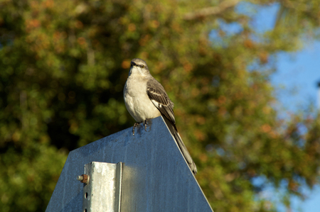 A Northern Mockingbird is perched on a stop sign with trees in background