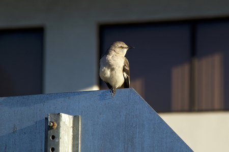 A Northern Mockingbird is perched on a stop sign looking right with building in background Stock Photo