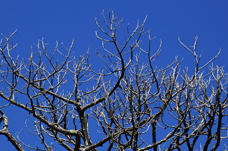 Looking up at bare pine trees that appear to be dead with deep shadows and clear blue sky. Reklamní fotografie