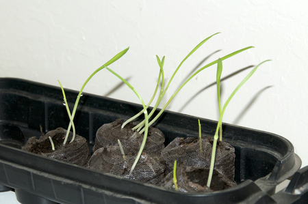 Young plants are seen sprouting from organic peat pods in indoor garden, wet with morning dew.