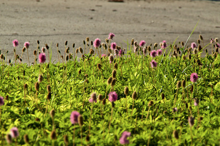 View of Mimosa strigillosa, ground cover, also known as sunshine mimosa and powderpuff. Showing purplish-pink flowers in bloom on a sunny morning.