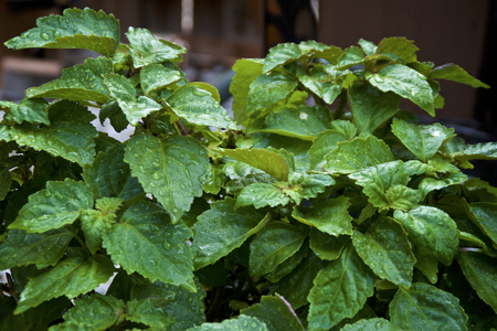 Eye level view of wet, lush, green Pogostemon cablin patchouli plant after morning rain with water drops, used for essential oil, aromatherapy and incense. Stock Photo