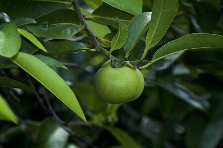 Beach apple on manchineel tree, considered the world's most dangerous tree and fruit with all parts being toxic. 版權商用圖片