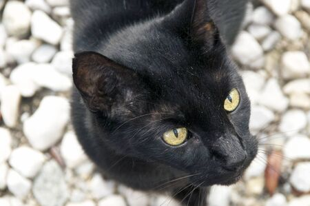 close up of adult havana brown cat with green eyes is looking up away from viewer, outdoors on stone surface.