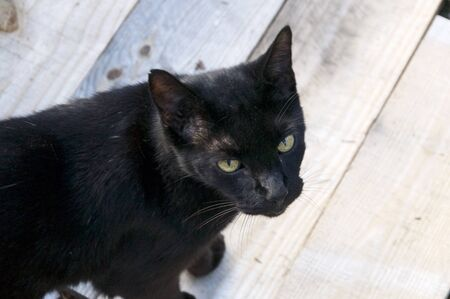 An adult havana brown cat with green eyes is looking up towards viewer, outdoors on wooden surface.