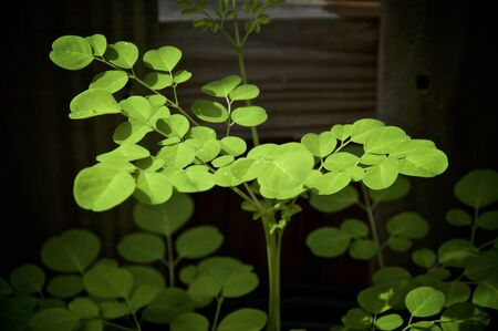 A young moringa oleifera or drumstick tree growing, showing many leaves. Known as a superfood and used as alternative medicine.