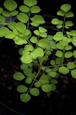 A young  greenmoringa oleifera or drumstick tree growing in pot showing many leaves. Known as a superfood and used as alternative medicine.