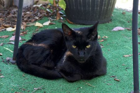 A black cat, known as a Havana brown, is laying down out doors in the morning looking at viewer.