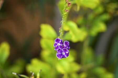 A cluster of small blue tropical flowers at end of flower stalk with very shallow depth of field.