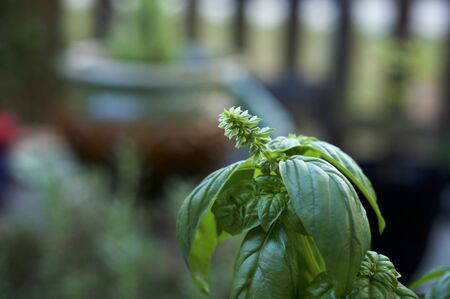A rich green basil plant top with flower stalk growing out of stem. Banco de Imagens
