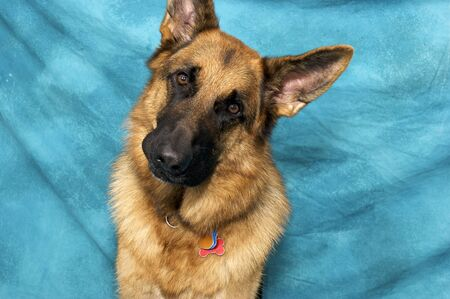 Studio portrait of German shepherd dog against blue background, with quizzical face and tilted head looking at viewer.