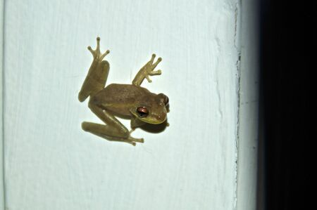 A tiny green frog is clinging to white wall, or door jamb, looking at viewer.