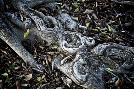 Close up abstract image of gray tree roots of tree, surrounded by dead leaves. Stock Photo