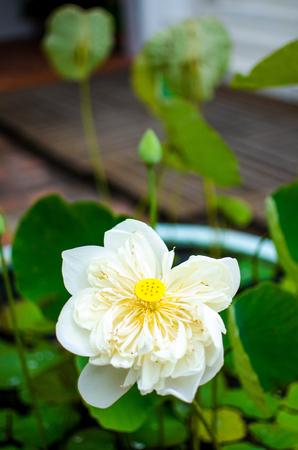 Beautiful white lotus in pond.
