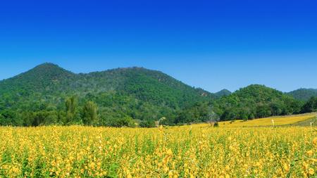 Yellow Sunn Hemp Flower Field.