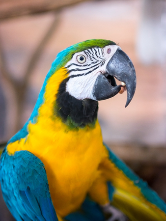 One Blue and Yellow Macaw Parrott Bird.