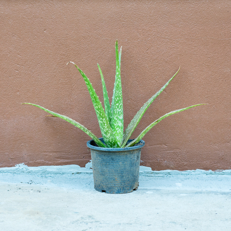 Aloe vera in pot placed beside the wall.