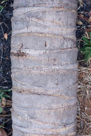 Bark of coconut tree. 写真素材