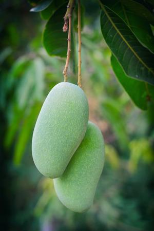 fresh green mango fruit on tree.