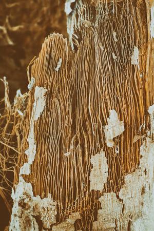Brown bark of the Papaya tree.