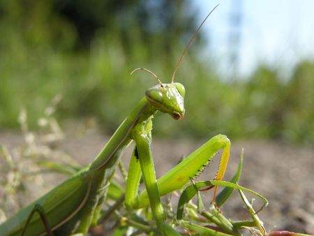 insect mantes in a grass Stock Photo