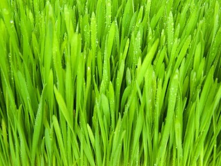Green, fresh spring grass grown from the seeds.