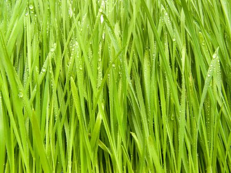Green, fresh spring grass grown from the seeds Stock Photo