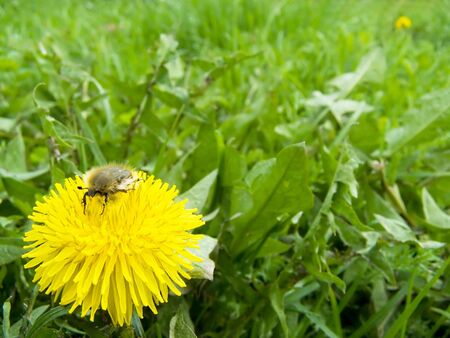 Spring beetle sits on dandelion against a backdrop of green lawns