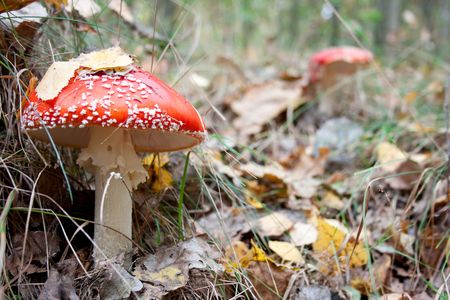 Mushroom a fly - agaric growing to the forest photo