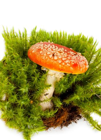 Mushroom a fly-agaric growing in mosses on a white background photo