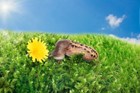 Snail and yellow flower on a blue sky background