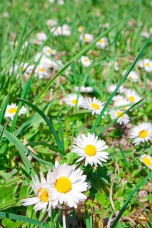 White spring flowers on a green lawn