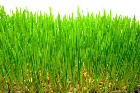 Kiełkowanie ziarna owsa. Tło z trawa zielona Zdjęcie Seryjne - 4723793