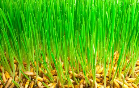 Germinating grains of oat. Background from a green grass Stock Photo