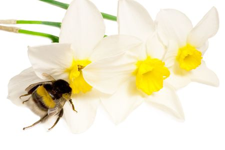 An insect is a bumble-bee. Bumble-bee on white flowers narcissus photo