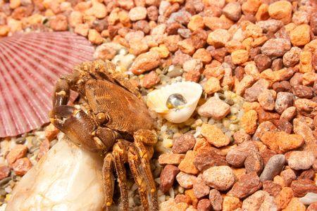Sea crab. Marine cockleshells, crab on a background sea pebbles photo
