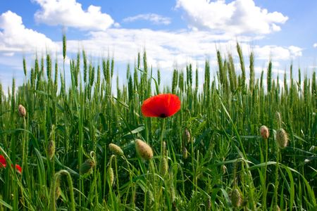 Red poppies growing in a rye field  Stock Photo - 5017814